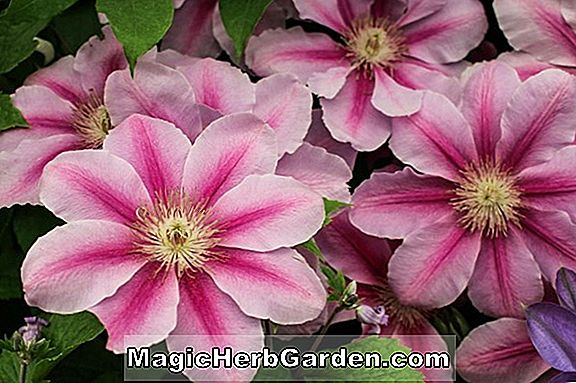 Clematis (Silver Moon Clematis)