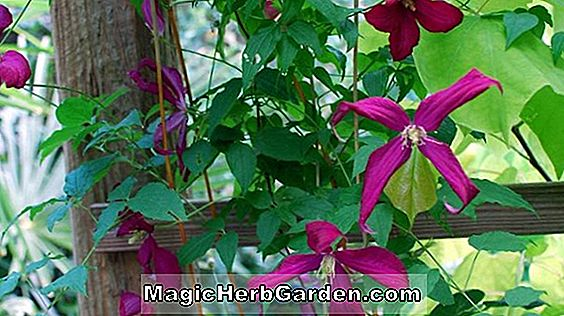 Clematis (The First Lady Clematis)