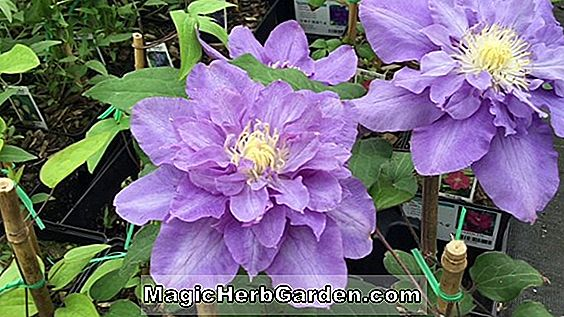 Clematis (Vyvyan Pennell Clematis)