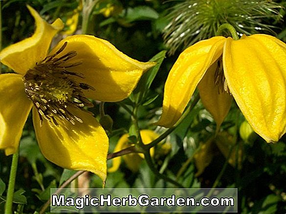 Planter: Clematis (Betty Corning Clematis)