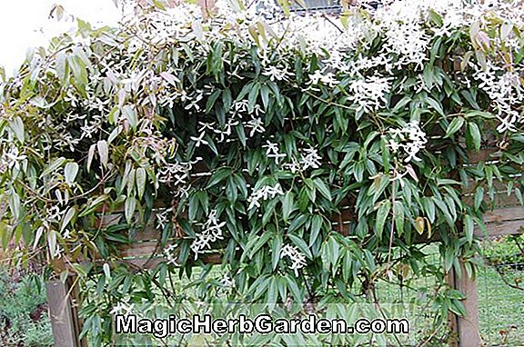 Clematis armandii (Apple Blossom Clematis)