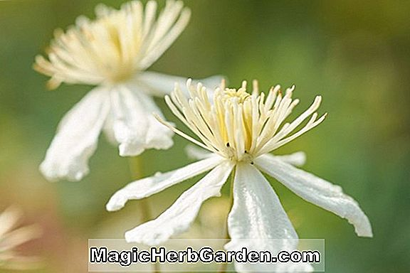 Clematis fargesioides (Paul Farges Clematis)
