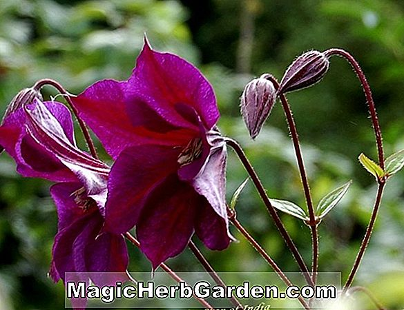 Clematis montana (Freda Anemone Clematis) - #2