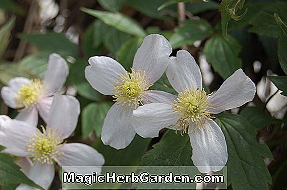 Planter: Clematis montana (Anemone Clematis)