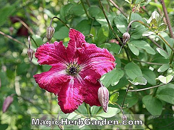Clematis viticella (Blue Bell Clematis)