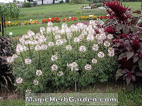 Cleome hassleriana (Pink Queen Cleome)