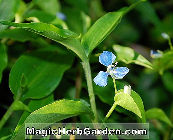 Commelina diffusa