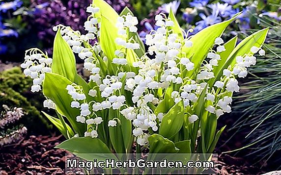 Planter: Convallaria majalis (Prolificans Lily-of-the-Valley)