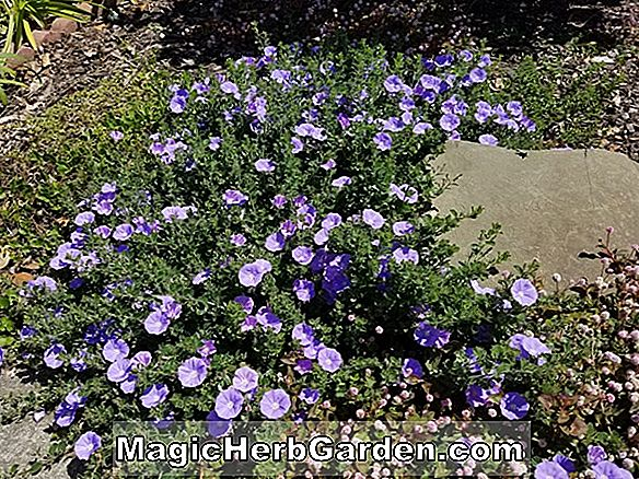 Convolvulus mauritanicus (Ground Morning Glory)