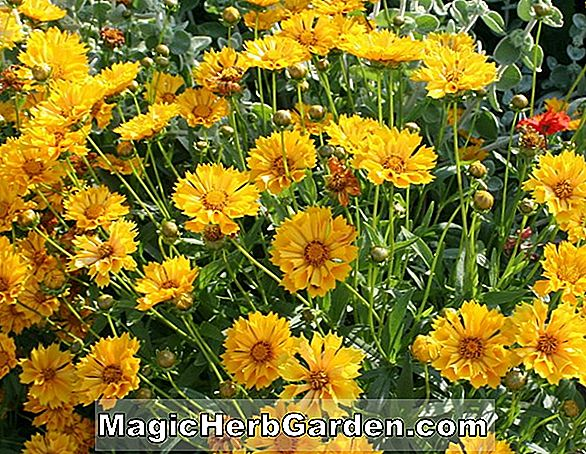 Coreopsis auriculata (Coreopsis)