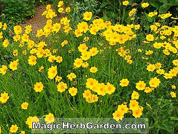 Planter: Coreopsis lanceolata (Early Sunrise Coreopsis)