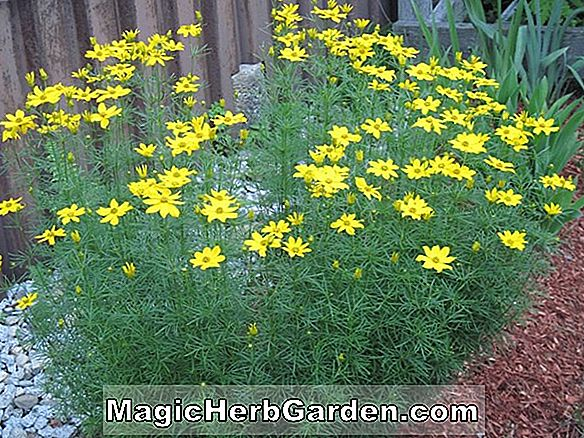 Planter: Coreopsis verticillata (Grandiflora Thread-Leaved Tickseed)