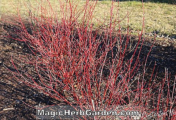 Cornus alba (Variegated Red-Twig Dogwood)