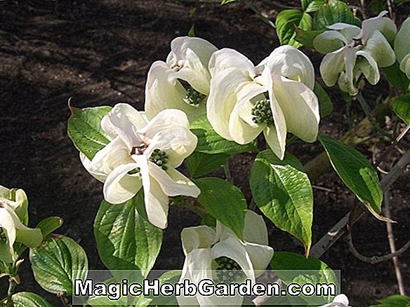 Cornus Florida (Imperial White Blooming Dogwood)