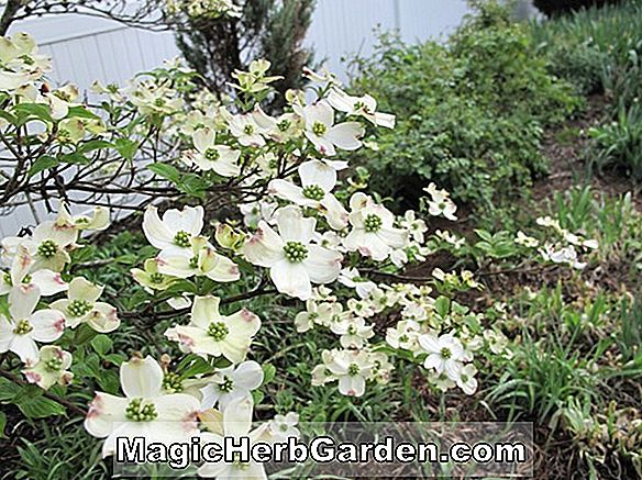 Planter: Cornus florida (Pink Flame Flowering Dogwood)