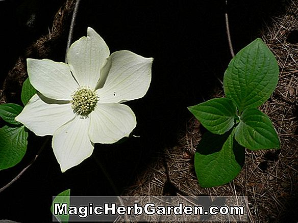 Cornus Florida (Red Giant Flowering Dogwood)