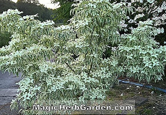 Cornus Florida (Weaver's White Flow Dogwood)