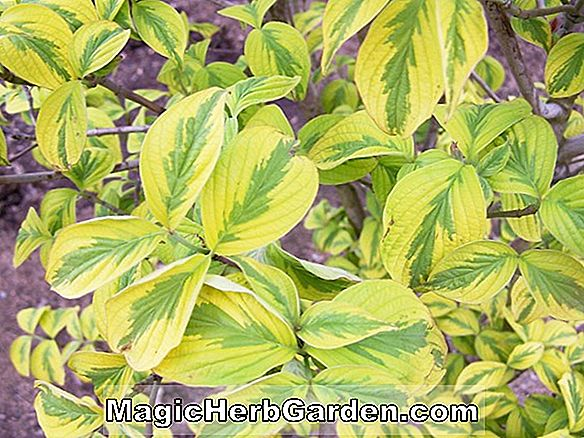 Cornus Florida (Hohmans Gold Blowering Dogwood)