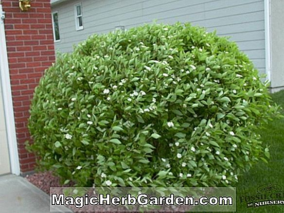 Planter: Cornus sericea (Red Osier Dogwood)