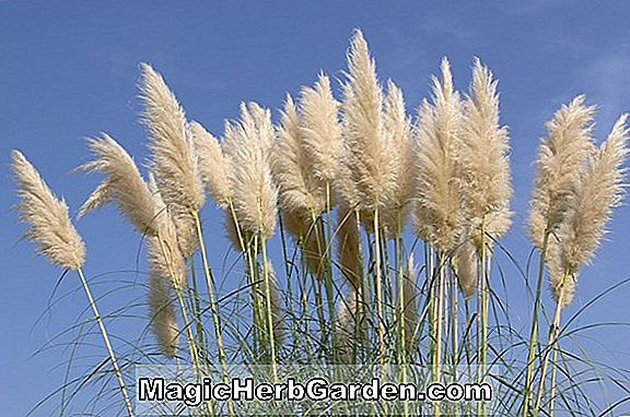 Cortaderia selloana (Pink Feather Pampas Grass)