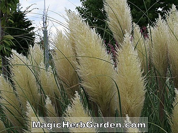 Cortaderia selloana (Monstrosa Pampas Grass)