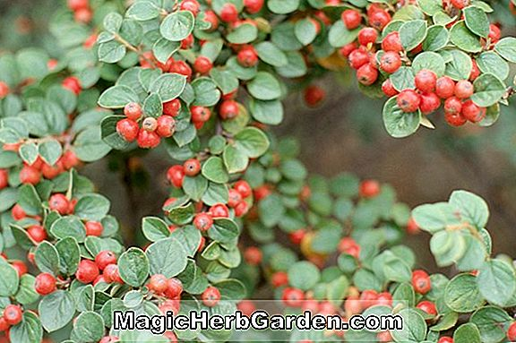 Cotoneaster affinis (Cotoneaster)