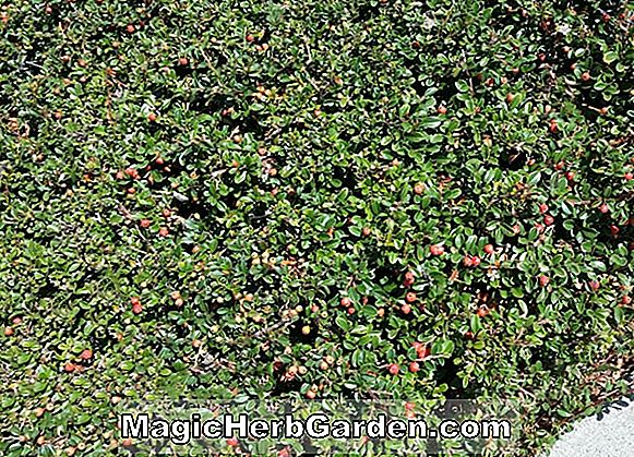 Cotoneaster dammeri (Moon Creeper Bearberry)