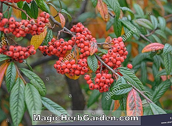 Cotoneaster salicifolius (chef écarlate Willowleaf)