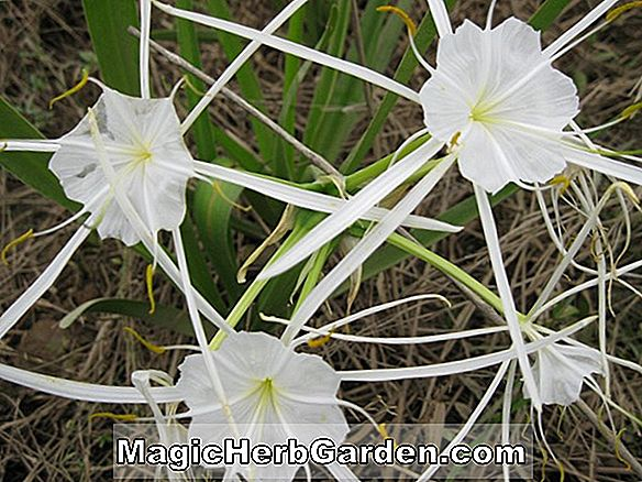 Planter: Crinum americanum (Southern Swamp Lily)
