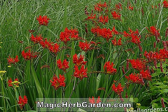 Crocosmia (Lucifer Crocossmia)