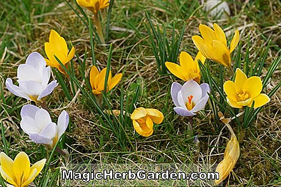 Crocus chrysanthus (Bruant des neiges Chrysanthus Crocus)