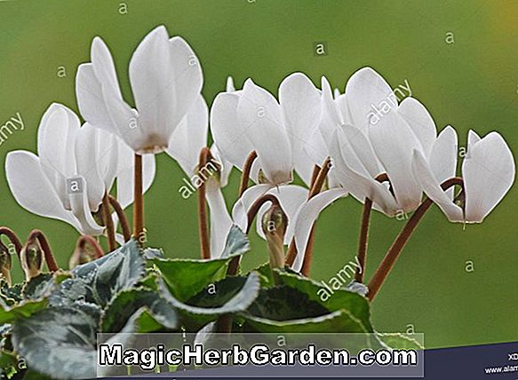 Cyclamen persicum (Florists Cyclamen)