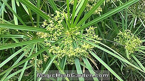 Planter: Cyperus alternifolius (Paraply Grass)