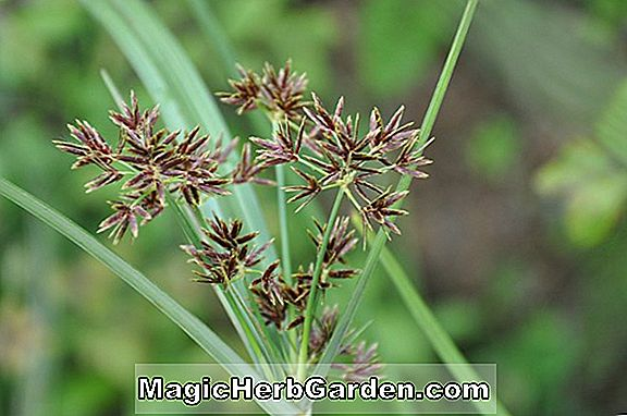 Cyperus kompressor (Annual Sedge)