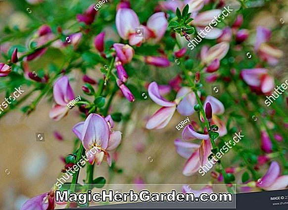 Planter: Cytisus scoparius (Red Favorite Scotch Broom)
