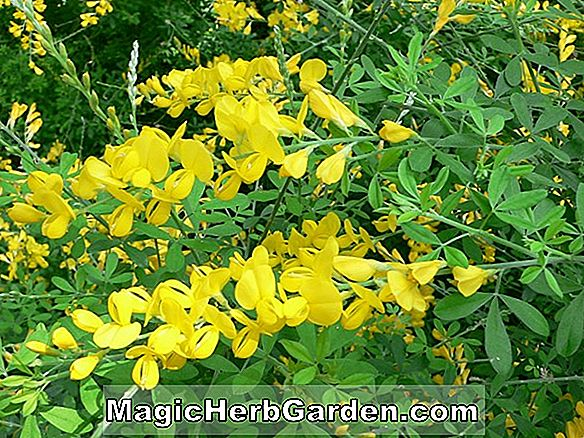 Cytisus x. Spachianus (Evergreen busk)