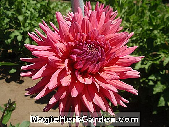 Planter: Dahlia (Connecticut Dancer Dahlia)