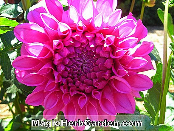 Dahlia (Formby Perfection Dahlia)