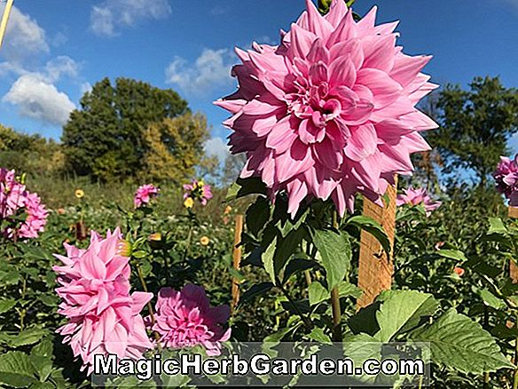 Dahlia (Almand Joy Dahlia)