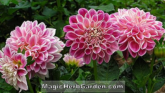 Dahlia (Optic Illusion Dahlia)