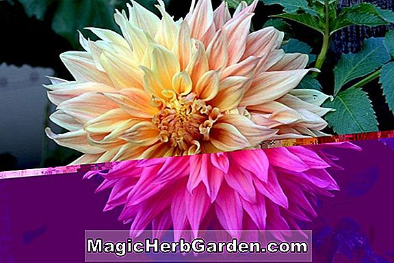 Planter: Dahlia (Blended Beauty Dahlia)