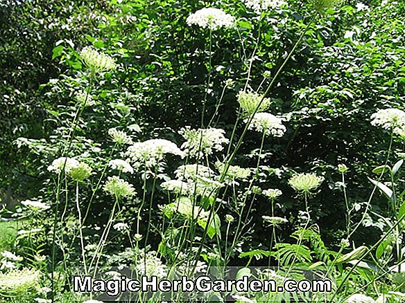 Planter: Daucus carota (Early Horn Gulerod)