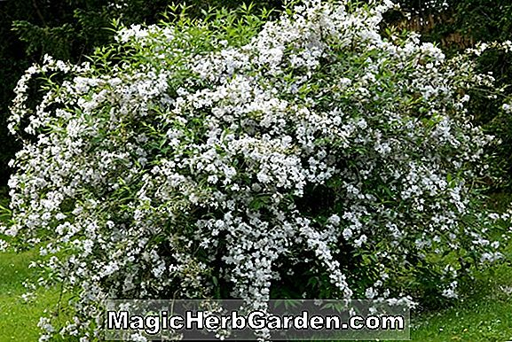Planter: Deutzia Rosea (Rose Deutzia)