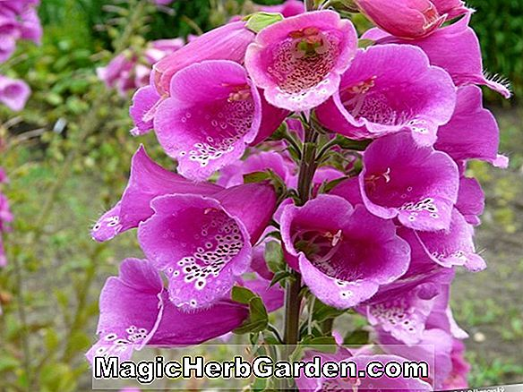 Digitalis purpurea (Dwarf Sensation Foxglove)