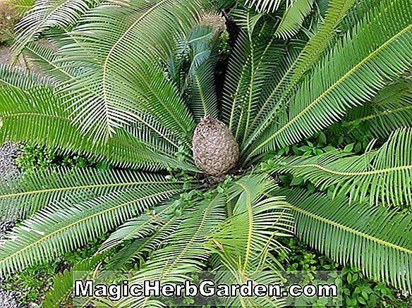 Planter: Dioon (Dioon)