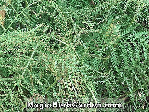 Dryopteris filix mas (Linearis Group Male Fern)