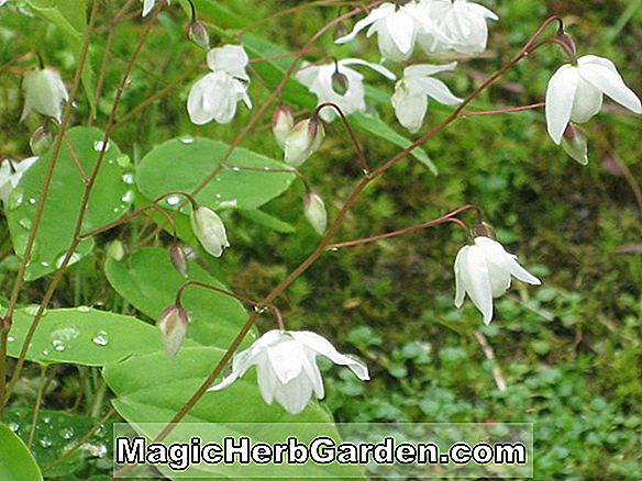 Planter: Epimedium grandiflorum (Bishop's Hat)