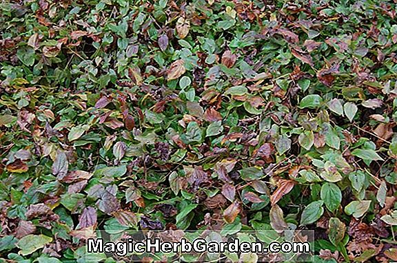 Pflanzen: Epimedium (Barrenwort)