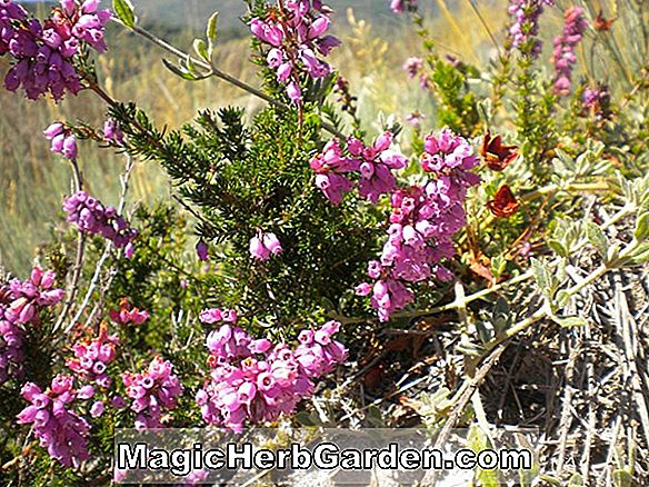Pflanzen: Erica cinerea (Penaz Bell Heather) - #2