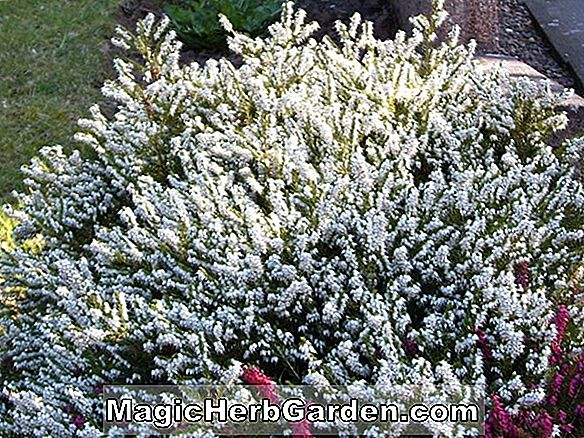 Calluna vulgaris (Mairs Varietät Heather) - #2